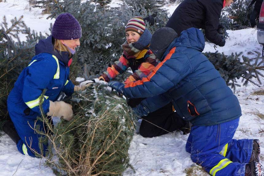 Free Christmas trees offered to curb invasive spruce