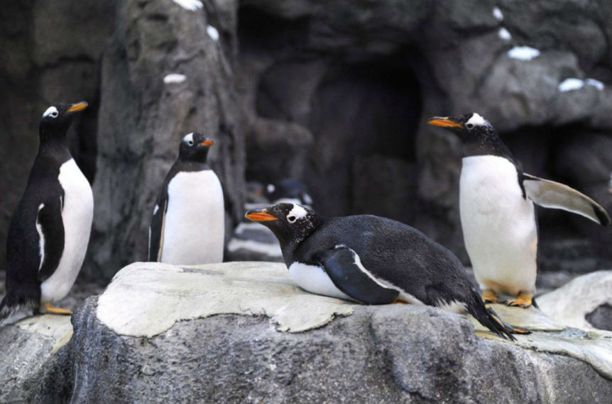 Calgary Zoo brings penguins indoors because of frigid temperatures