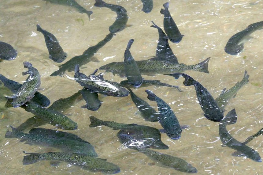 Whirling disease found in fish in North Saskatchewan River: CFIA
