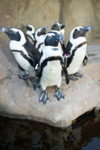 african-penguins-photo-credit-neil-fisher