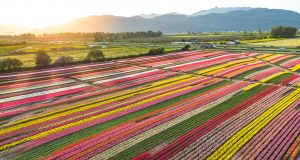 Image: The Abbotsford Tulip Festival