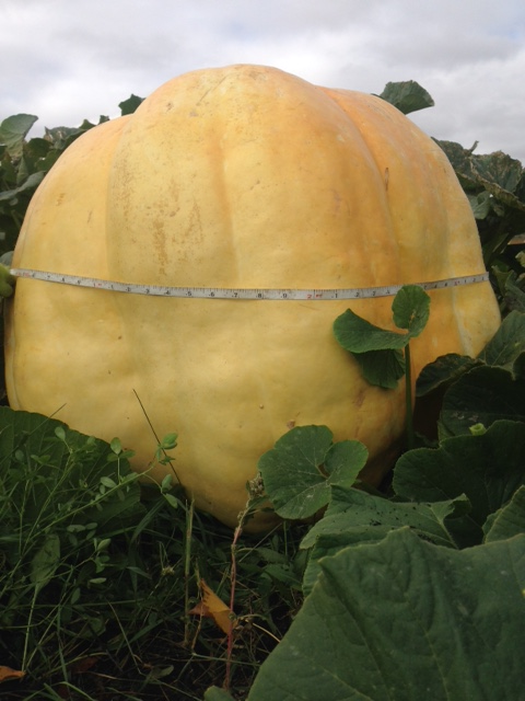 FortWhyte Farms' Giant Pumpkin Weigh-In happens TODAY!