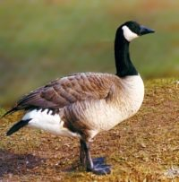 Geese May Be Health Concern