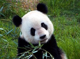 It's Panda Day!