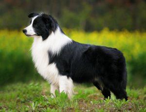 border-collie-black-white