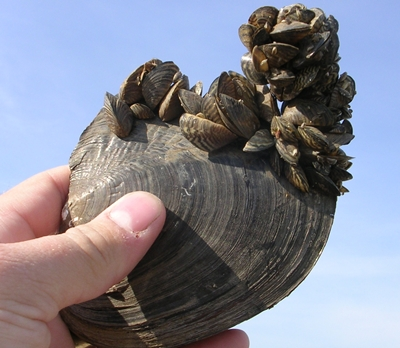 Feds To Look At Help Prevent Invasive Mussels