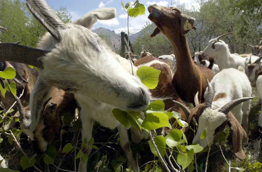 How one school saved on landscaping bills by hiring GOATS