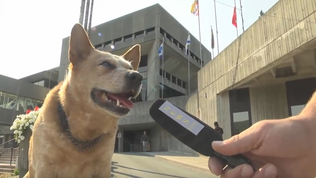 Dog Runs For Mayor