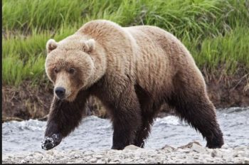 Public Comment Sought on Grizzly Hunt