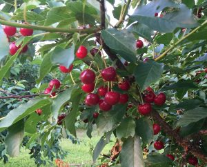 Lavington Cherry Orchard Under Review