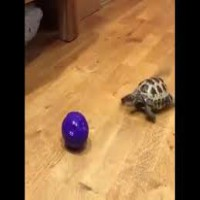 Turtle plays w Ball like a Dog