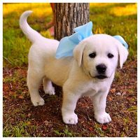 Labrador Retriever - Most Popular Dog Breed - AGAIN!!!