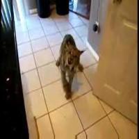Lynx in the Kitchen