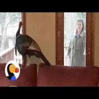 Wild Turkey in the House!