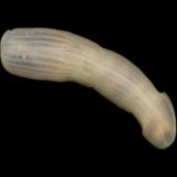 Sea Creature that looks like a Penis