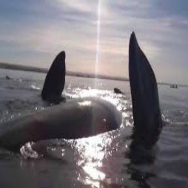 Whale Lifts Kayakers