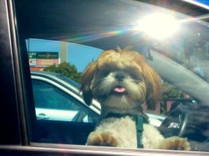 dogs-in-hot-cars0
