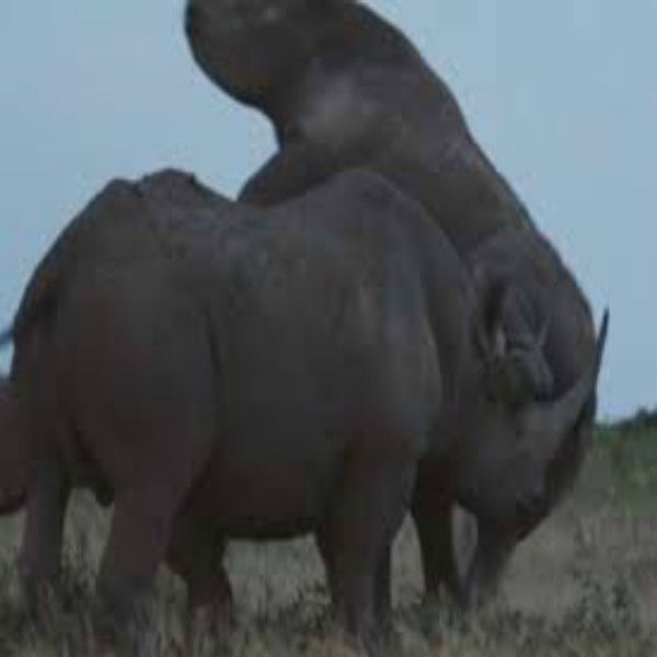 Horny rhinos engage in a 'devil's threesome'