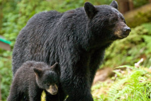 black-bear-cub-and-mom