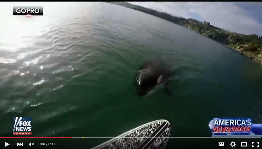 Free Willy Pops Up and Surprises Paddle Boarder in New Zealand - WATCH