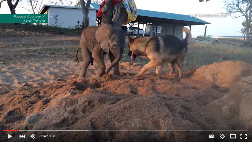 Abandoned Baby Elephant and Retired Service Dog Become Best Friends During Recovery - WATCH
