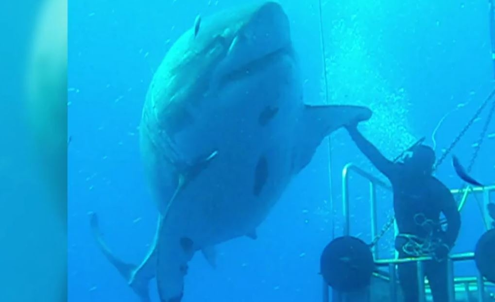 Previously unseen footage of the worlds largest shark