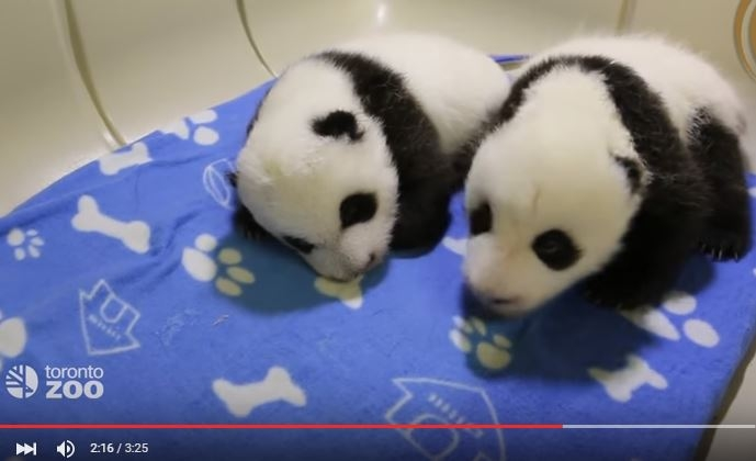 Toronto Zoo reveals panda cub names!