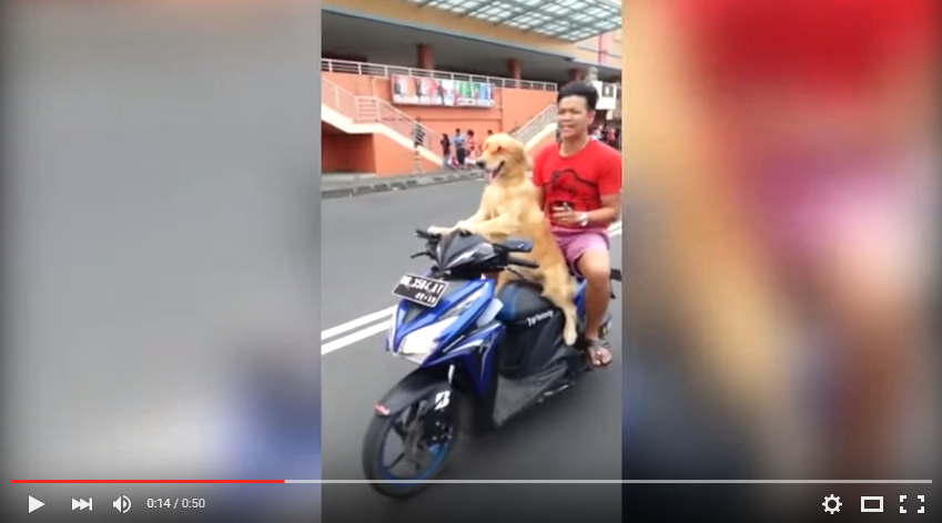 Want To See A Golden Retriever In Pink Sunglasses Drive A Blue Moped? - WATCH