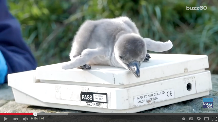 Get Ready For Cute, As Newborn Penguin's Named After Chips Get Weighed - WATCH