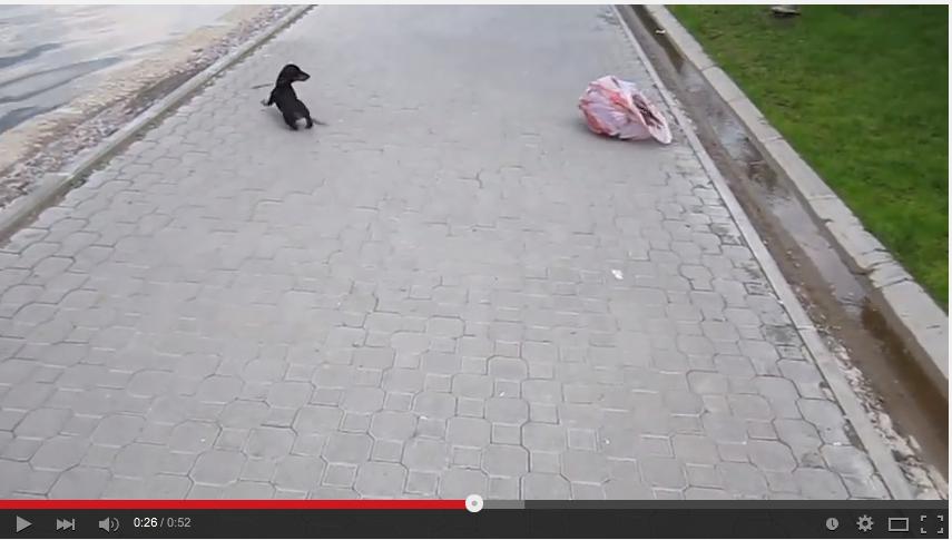 Dachshund Puppy Has Devastatingly Adorable Encounter Will Playing Plastic Bag - WATCH