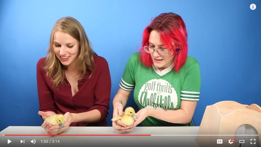People Terrified Of Birds Get Surprised With Ducklings - WATCH