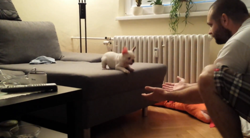 Bulldog Puppy Has The Best Time EVER Jumping Off The Couch - WATCH