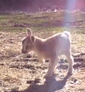 Baby goat knows how to party - WATCH!
