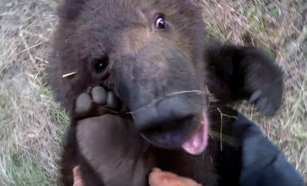 Little grizzly loves a good toe tickling. It's your Daily Dose Of Cuteness!