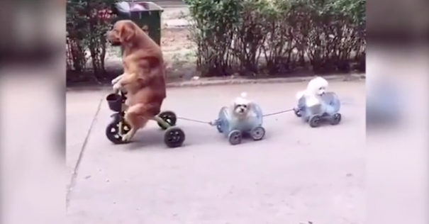 WATCH:All aboard the doggie tricycle train!