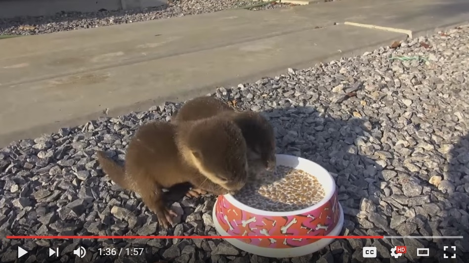 Watching These Little Baby Otters Eat Will Make Your Heart Smile - WATCH