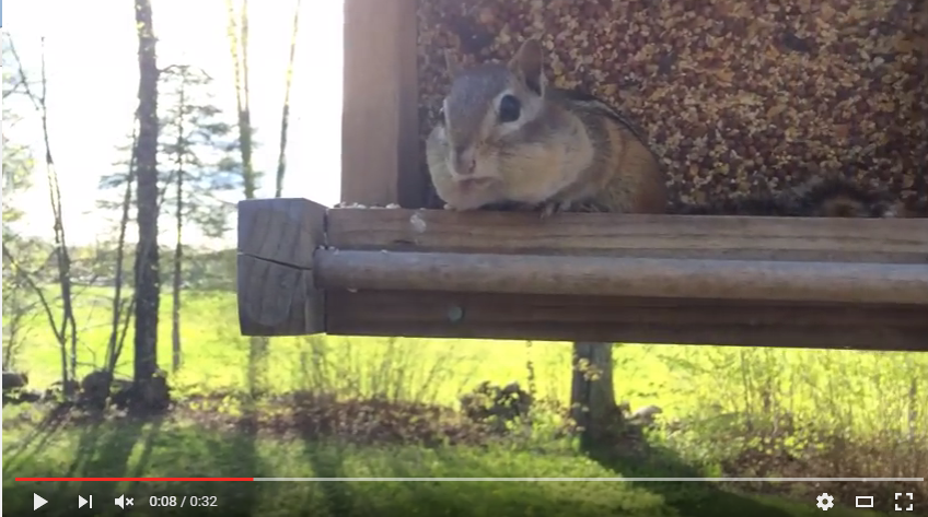 You Will Shake With Laughter At What This Smart Chipmunk Does After Being Caught Stealing From A Bird Feeder - WATCH