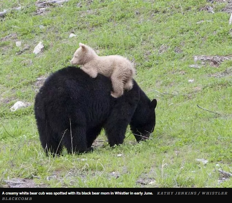 Tiny Little Black Bear Cub Spotted In Whistler With Creamy White Coat Stuns Scientists - LOOK