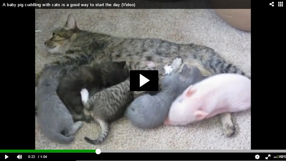 This Video Of Stuart The Piglet Cuddling With Kittens Will Melt Your Morning - WATCH