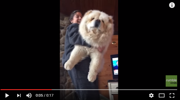 Lexi The MASSIVE Chow Loves To Be Held - WATCH