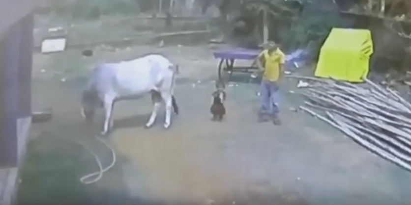 Parenting FAIL: Cow's hind leg kick sends toddler flying through the air like a rag doll.