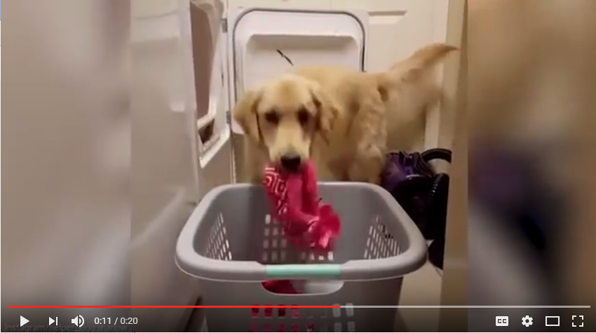 Meet Harlow The Service Dog That Is About To Steal Your Heart While She Does Your Laundry - WATCH