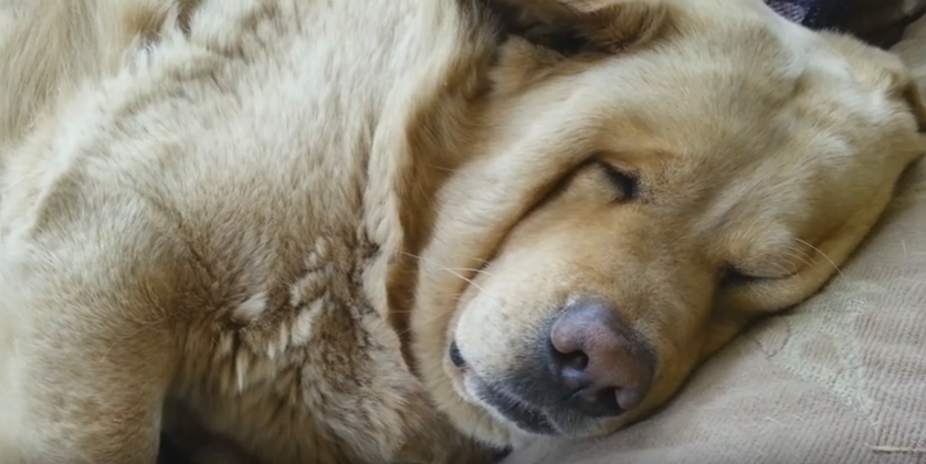 A woman took video of her massive dog snoring the house down!
