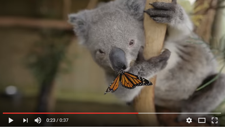ICYMI: This Butterfly Photobombing Joey The Koala Is The Cutest Thing On The Internet - WATCH