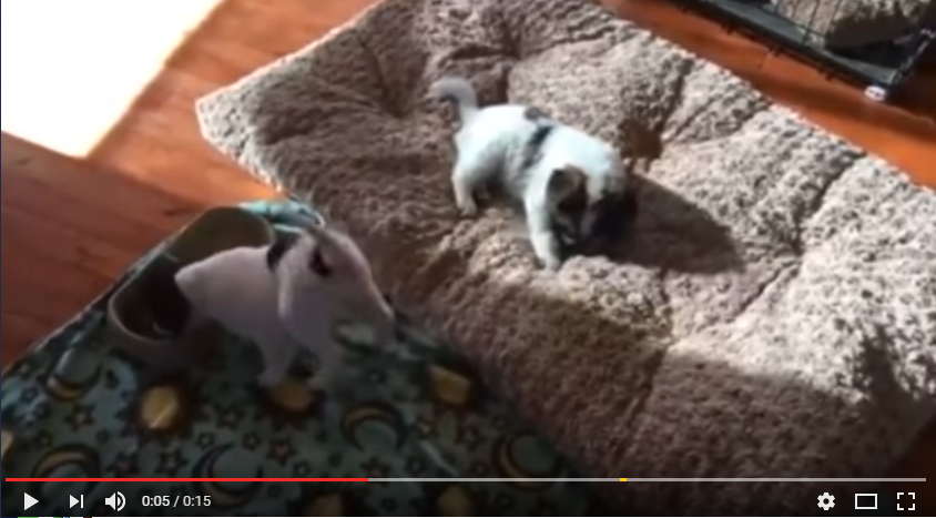 Excited Puppy Can't Contain His Adorable Butt Shakes While He Eats - WATCH