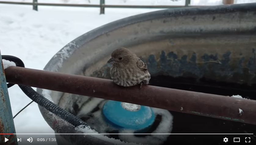 Wonderful Samaritan Takes Time To Warm Up Feet Of Finch Frozen To A Fence - WATCH