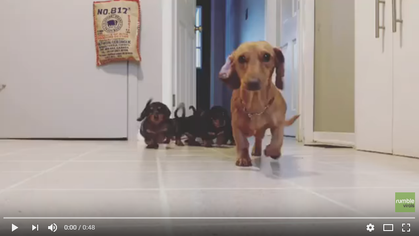 Want To See A Bunch Of Super Excited Dachshund Puppies Run Towards A Camera? I Thought So - WATCH