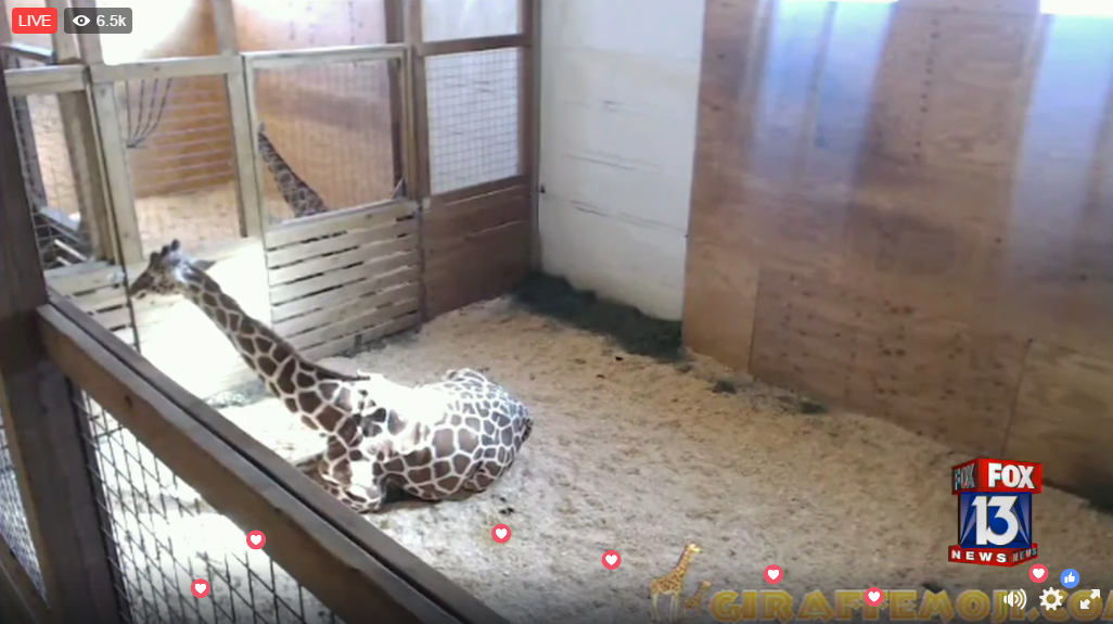 An update on April the giraffe's pregnancy.