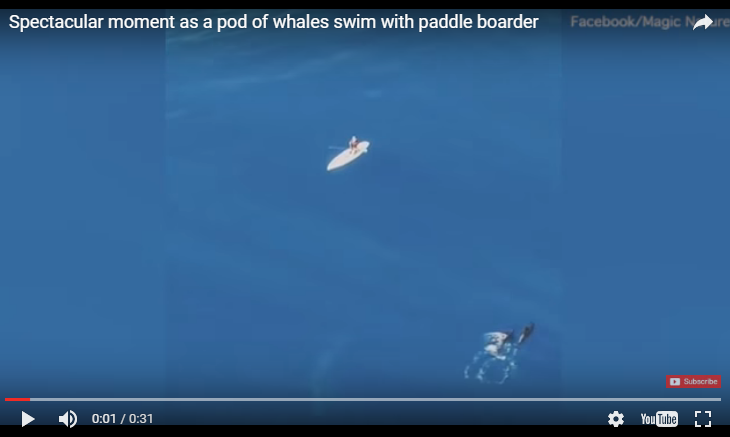 WATCH: A pod of whales swim with a paddle boarder.