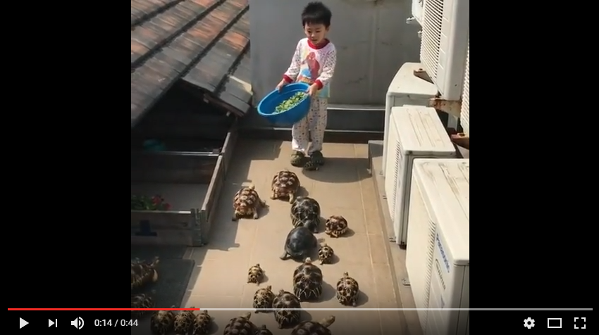 Group Of Tortoises 'Run' Towards Boy With Bucket Of Lettuce - WATCH